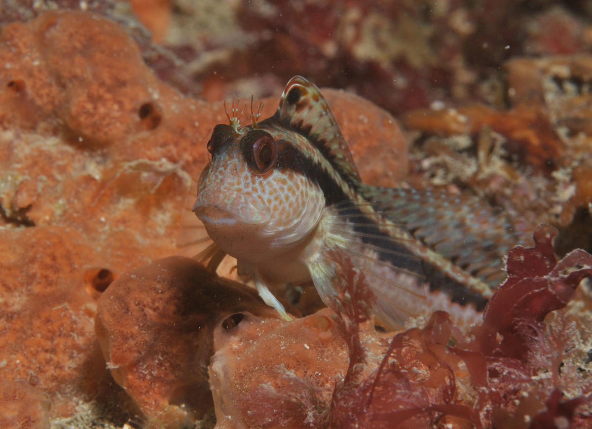 Blennie pilicorne
