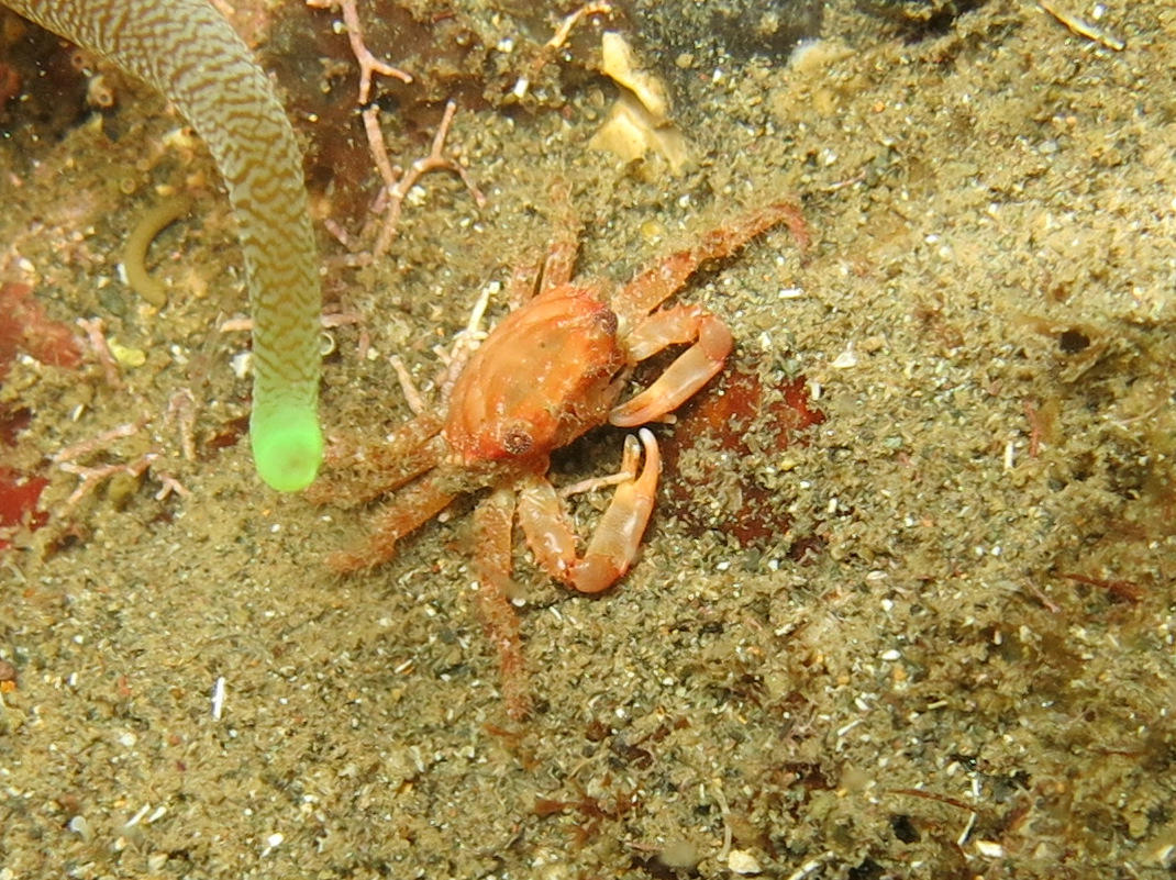 Crabe des Antilles, Mithraculus forceps?