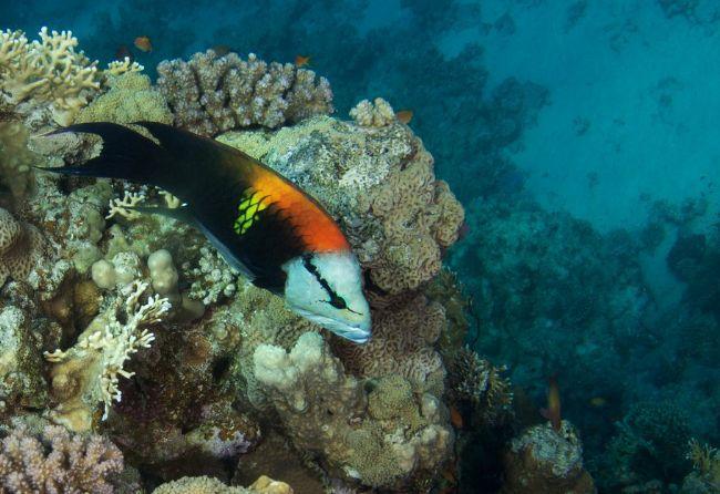 Poisson mer rouge for Nom poisson rouge