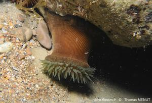 actinia_striata-tm13654