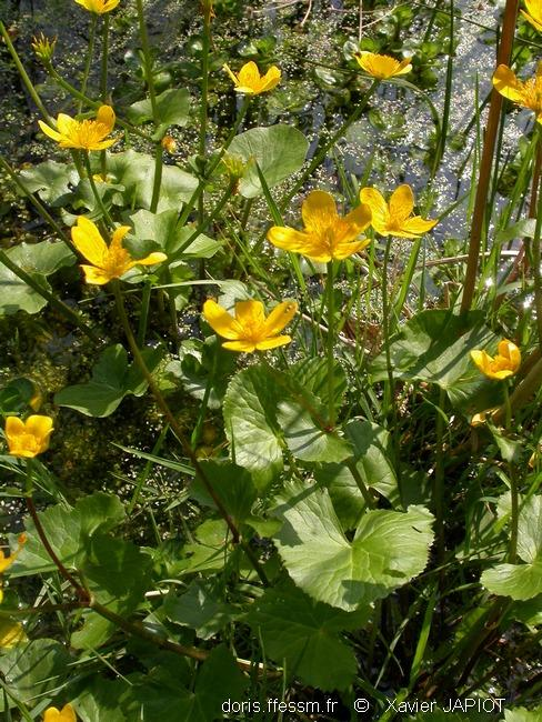 caltha_palustris_xj1