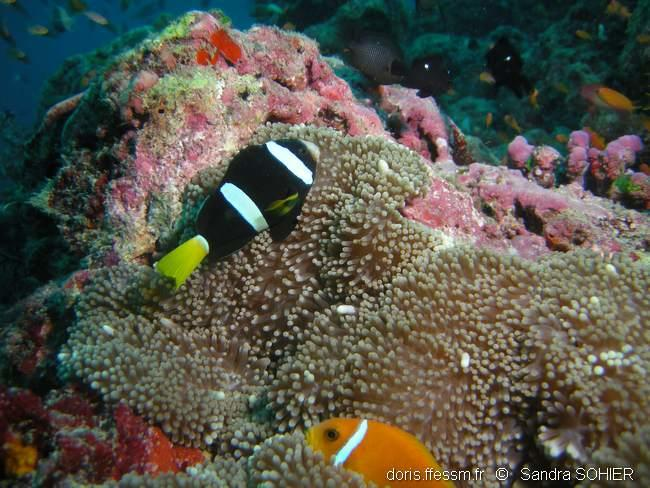 amphiprion_clarkii-ss2