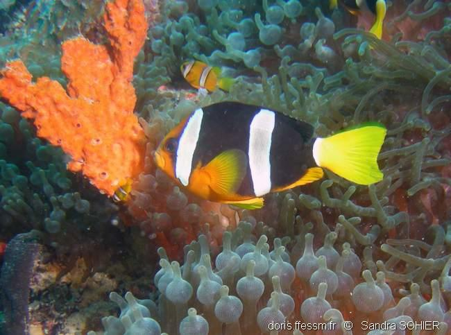 amphiprion_clarkii-ss1
