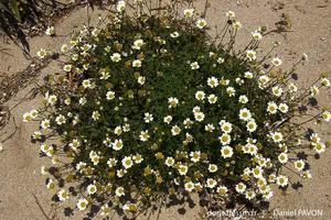 anthemis_maritima-dp1