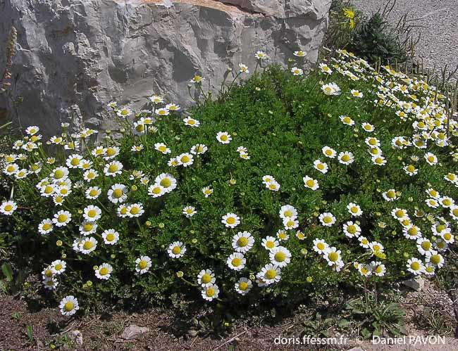 anthemis_maritima-dp2