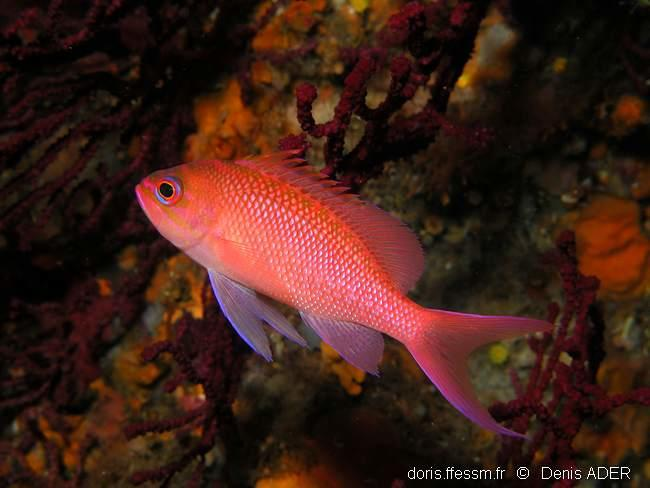 anthias_anthias-da-img_01