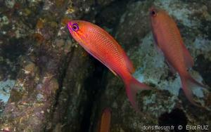 anthias_anthias-er-img_3398