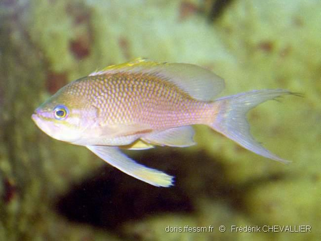 anthias_anthias-fc-01