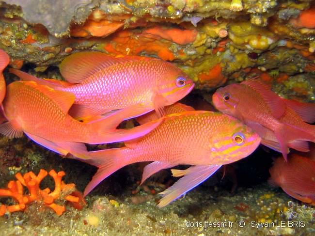 anthias_anthias-slb-img_05