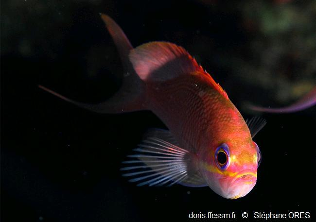 anthias_anthias-so-img_01