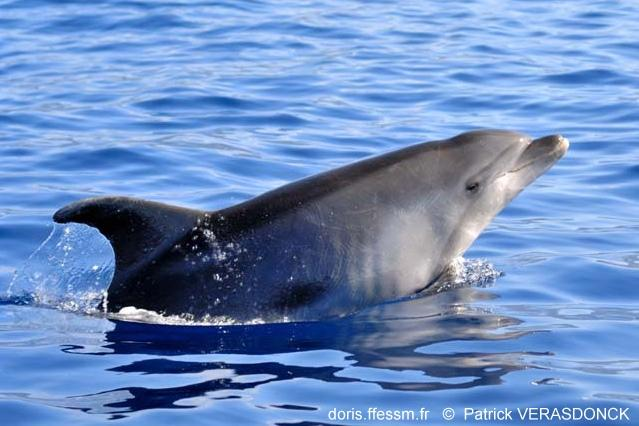 tursiops_truncatus_pv_22