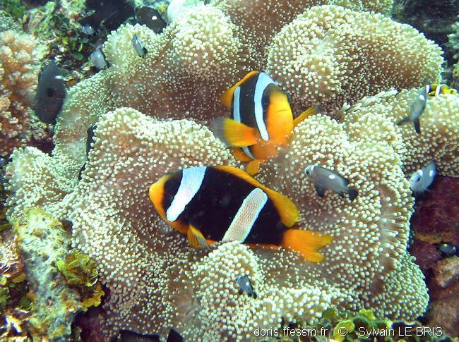amphiprion_latifasciatus-slb2