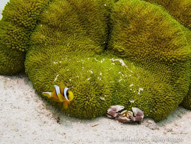 amphiprion_latifasciatus-ft3