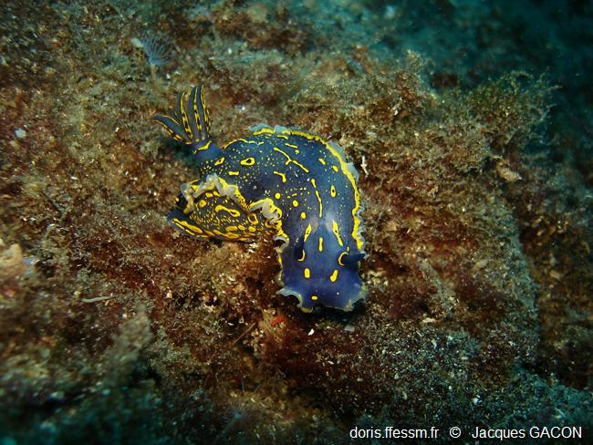 hypselodoris_picta_picta-jc