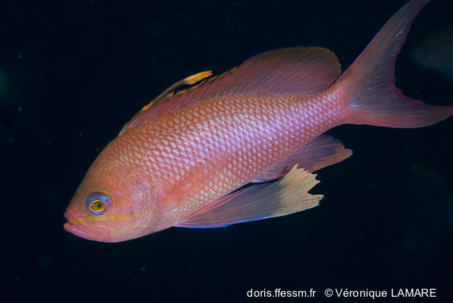 anthias_anthias-vl3