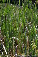Typha_latifolia-1