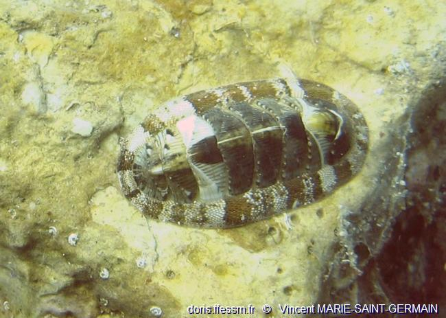 chiton_olivaceus-vmsg