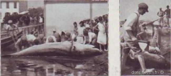 carcharodon_carcharias_brusc-1920