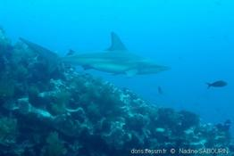 carcharhinus_galapagensis-ns1