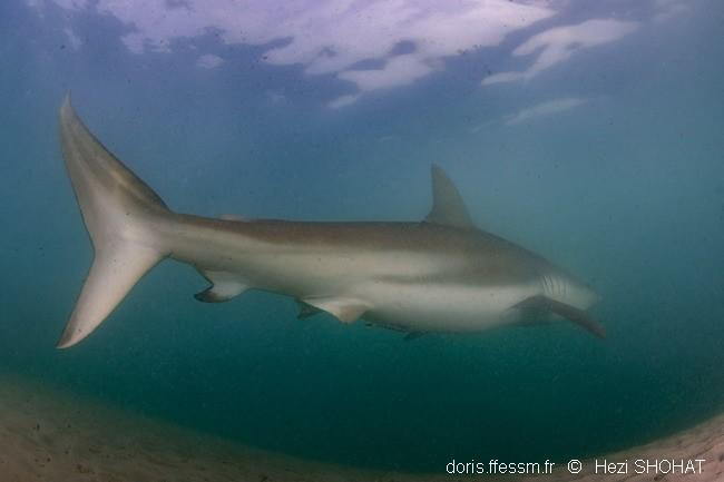 carcharhinus_obscurus-hs1