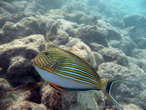 acanthurus_lineatus-mg1