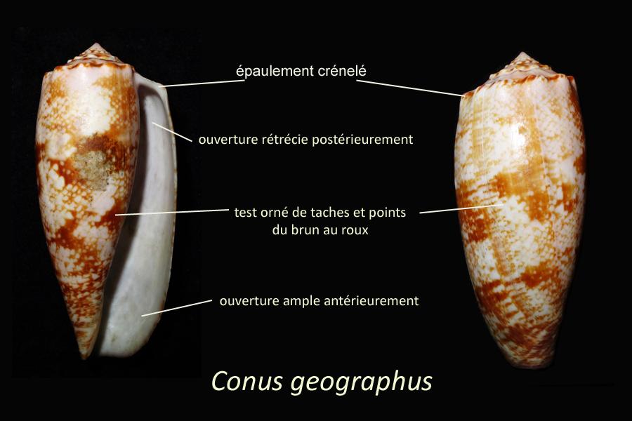 Conus_geographus Linnaeus, 1758 - juvénile Conus_geographus-ns