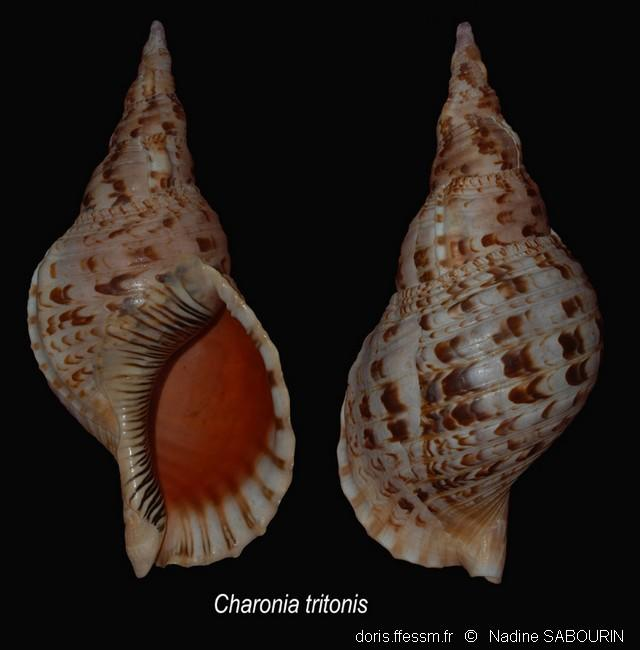 charonia_tritonis-ns1