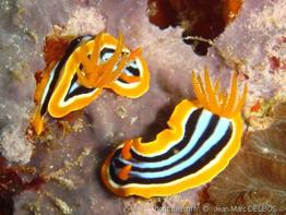 chromodoris_quadricolor-jmd1