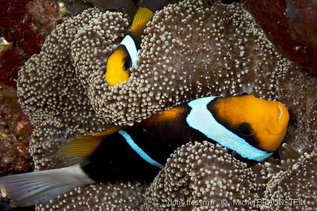 Amphiprion-chrysopterus-1mb