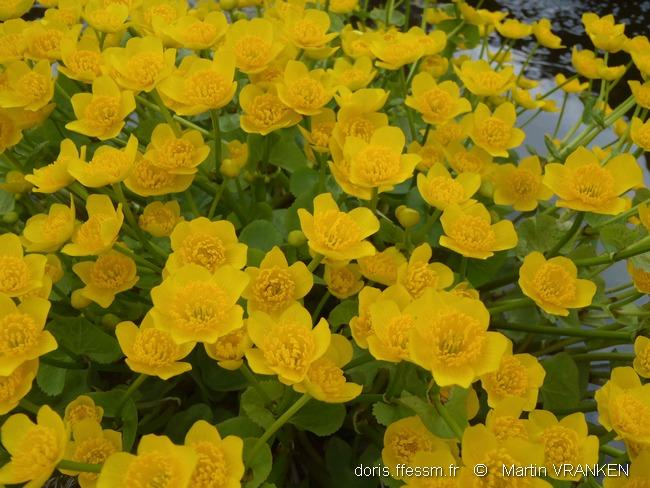 caltha_palustris_mv1