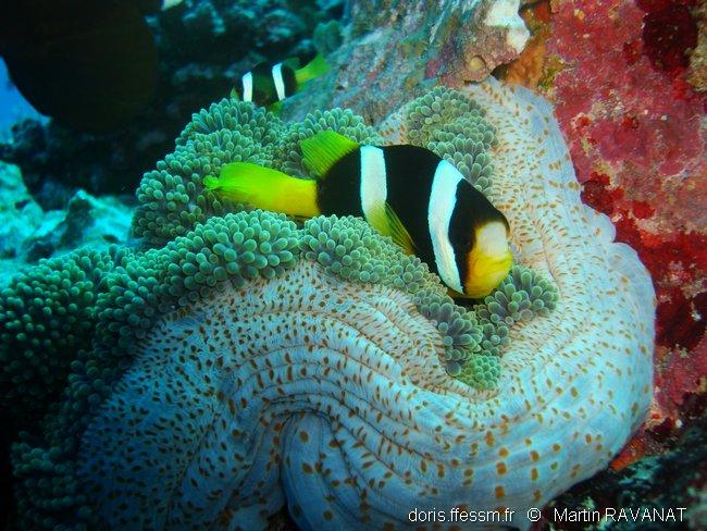 amphiprion_clarkii-mr1