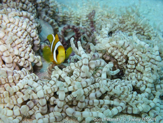 amphiprion_latifasciatus-ft1