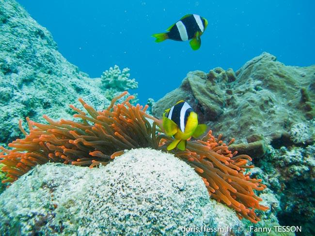 amphiprion_latifasciatus-ft2