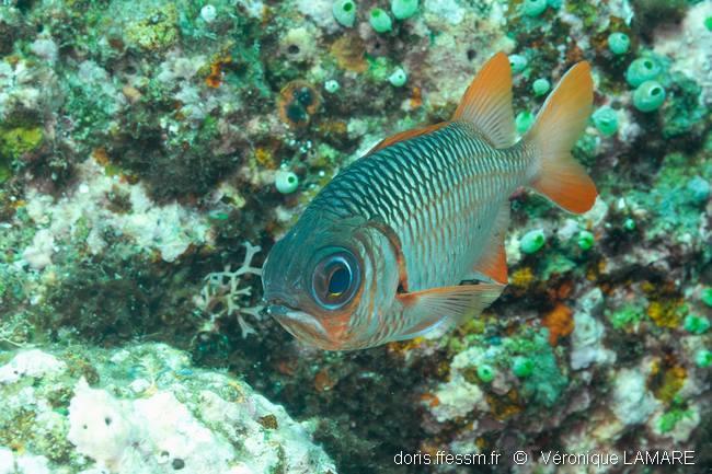 Myripristis violacea doris for Poisson yeux miroir