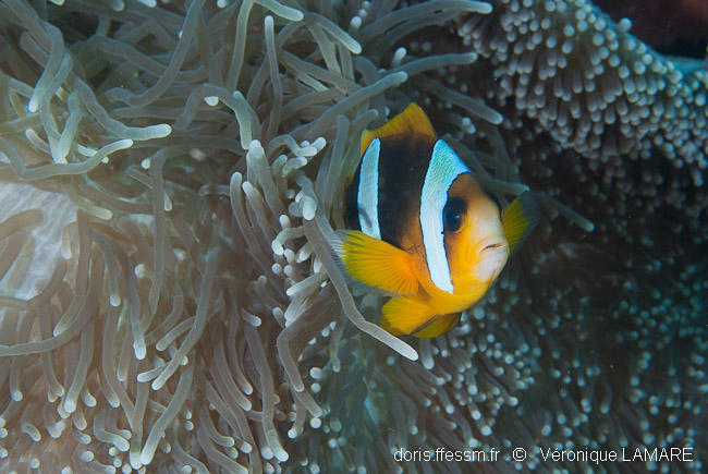 amphiprion_latifasciatus-vl3