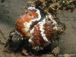 chromodoris_tennentana-fs101