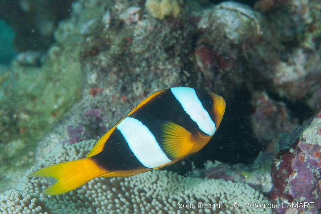 amphiprion_latifasciatus-vl2