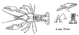 orconectes_limosus-1