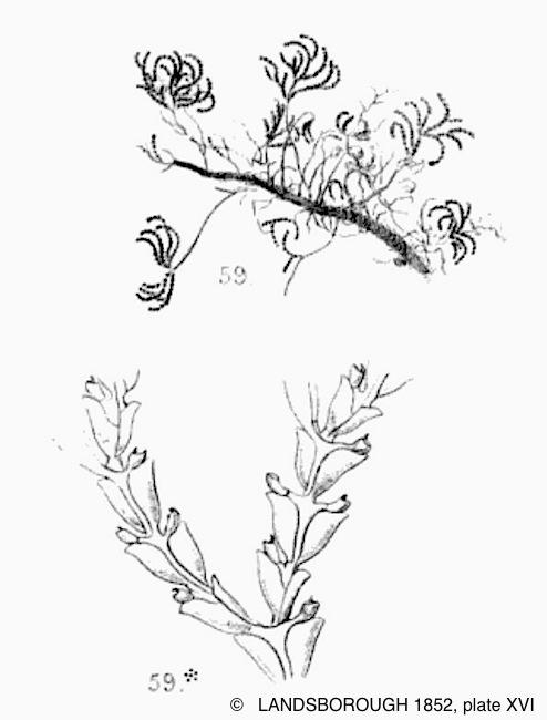 epistomia_bursaria-landsborough1852-plate15