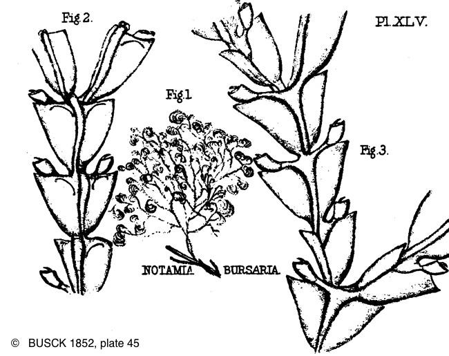 epistomia_bursaria-busk-plate45