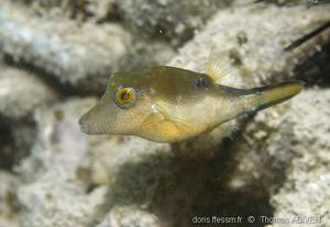 canthigaster_rostrata(5)