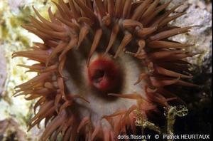 actinia_striata-ph4