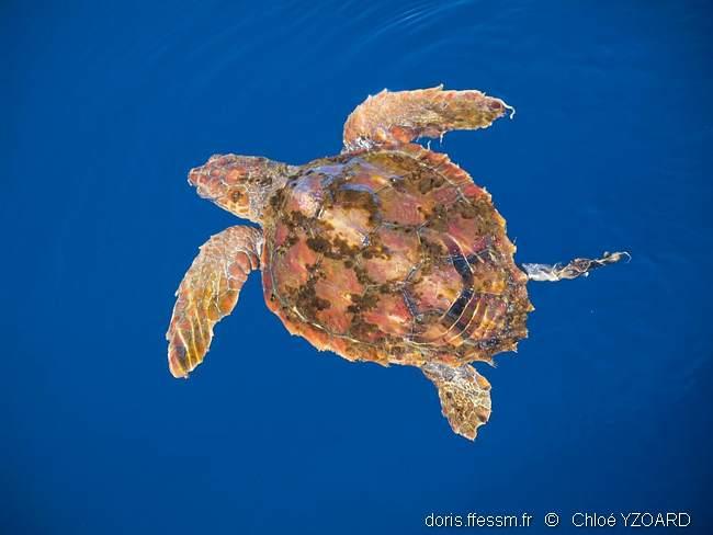 tortue rejoint mer