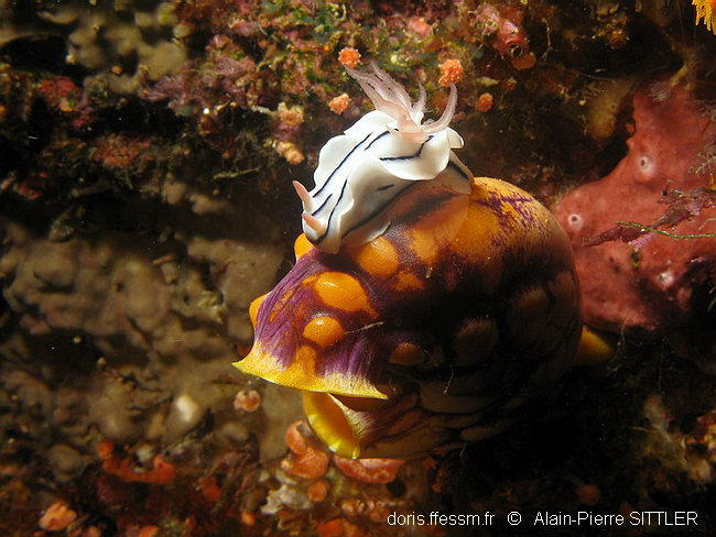 chromodoris_lochi-aps103