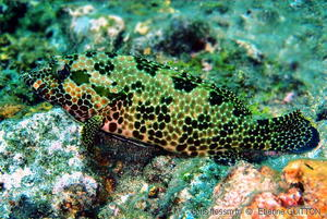epinephelus_hexagonatus-etgudemanderlecopyrightavantvisible