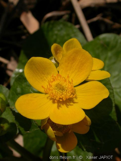 caltha_palustris_xj6