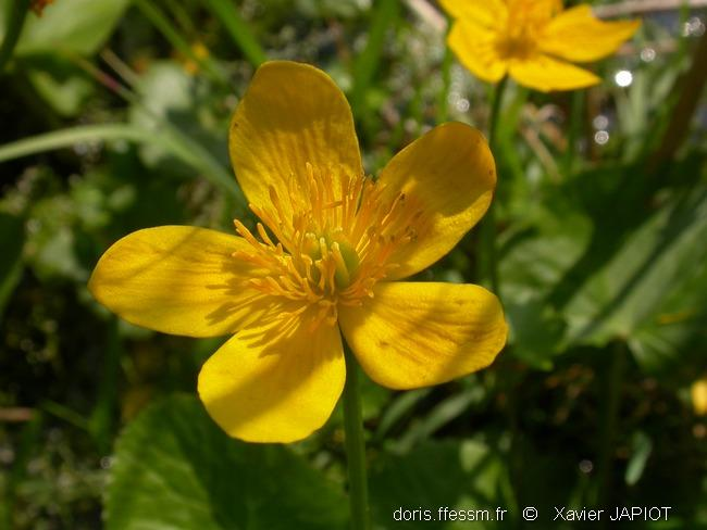 caltha_palustris_xj7