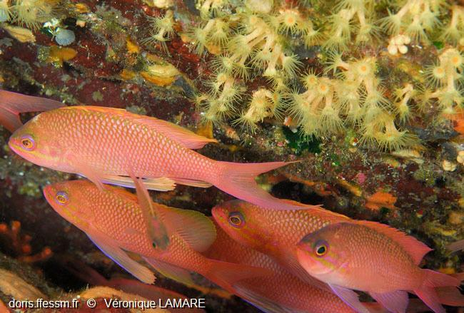 anthias_anthias-vl2