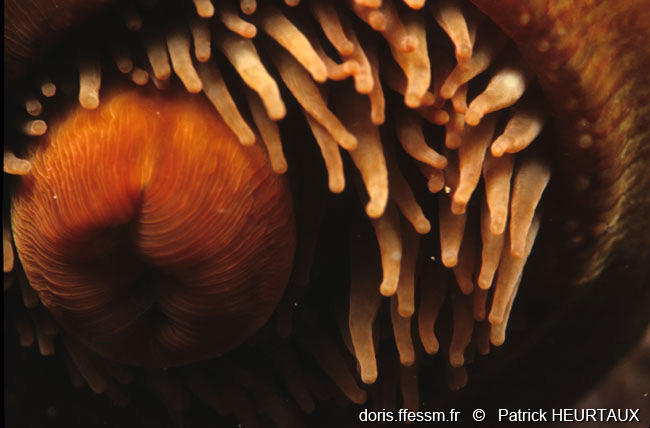 actinia_striata-ph8