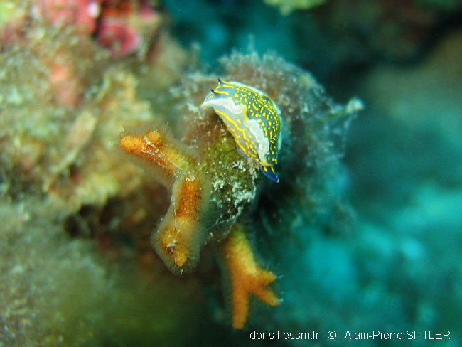 hypselodoris_picta_picta-aps9